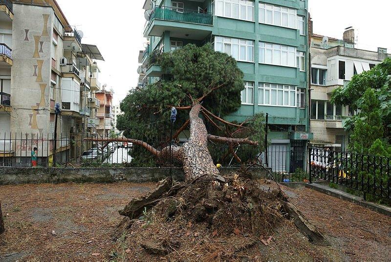 Ege'yi fırtına ve sağanak yağış vurdu! Aydın'da asırlık çam ağacı devrildi