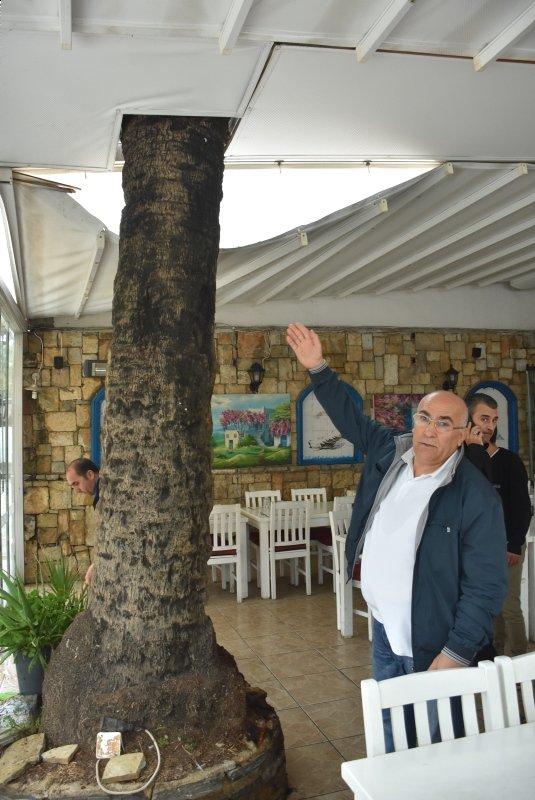 Bodrum'da Dev Palmiye Ağacı Köfteci Dükkanının Çatısına Devrildi ile ilgili görsel sonucu