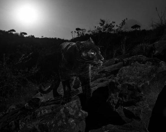 110 yıl sonra ilk kez görüntülendi! İşte Siyah Leopar'ın (Kara panter) fotoğrafları