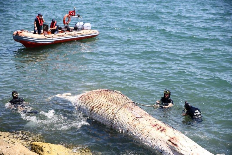 Görenler inanamadı! 10 metrelik balina karaya vurdu