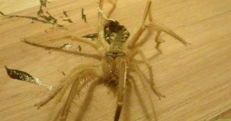 Bodrum'da etle beslenen Sarıkız örümceği görüldü