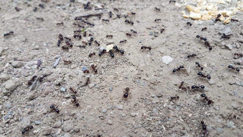 Karıncaların yiyecek telaşı deprem habercisi mi?