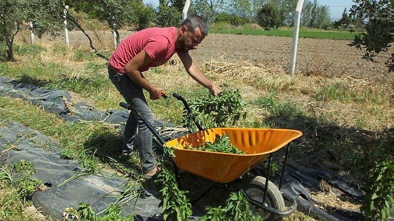 Balıkesir'de şeker otu hasadına başlandı
